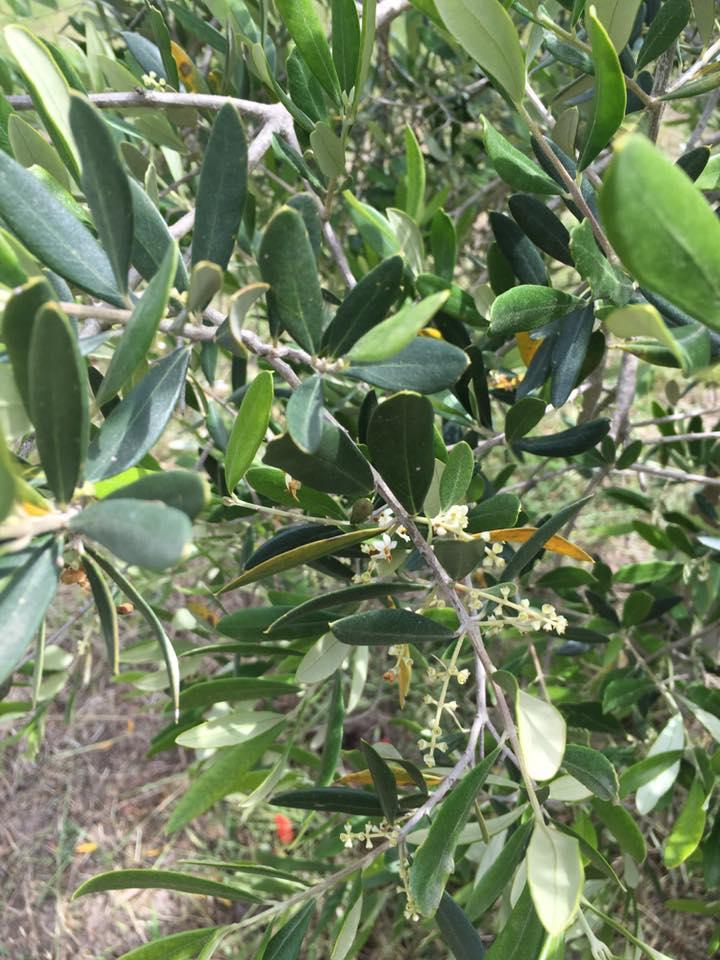 fioritura-olivo-azienda-agricola-Guastini
